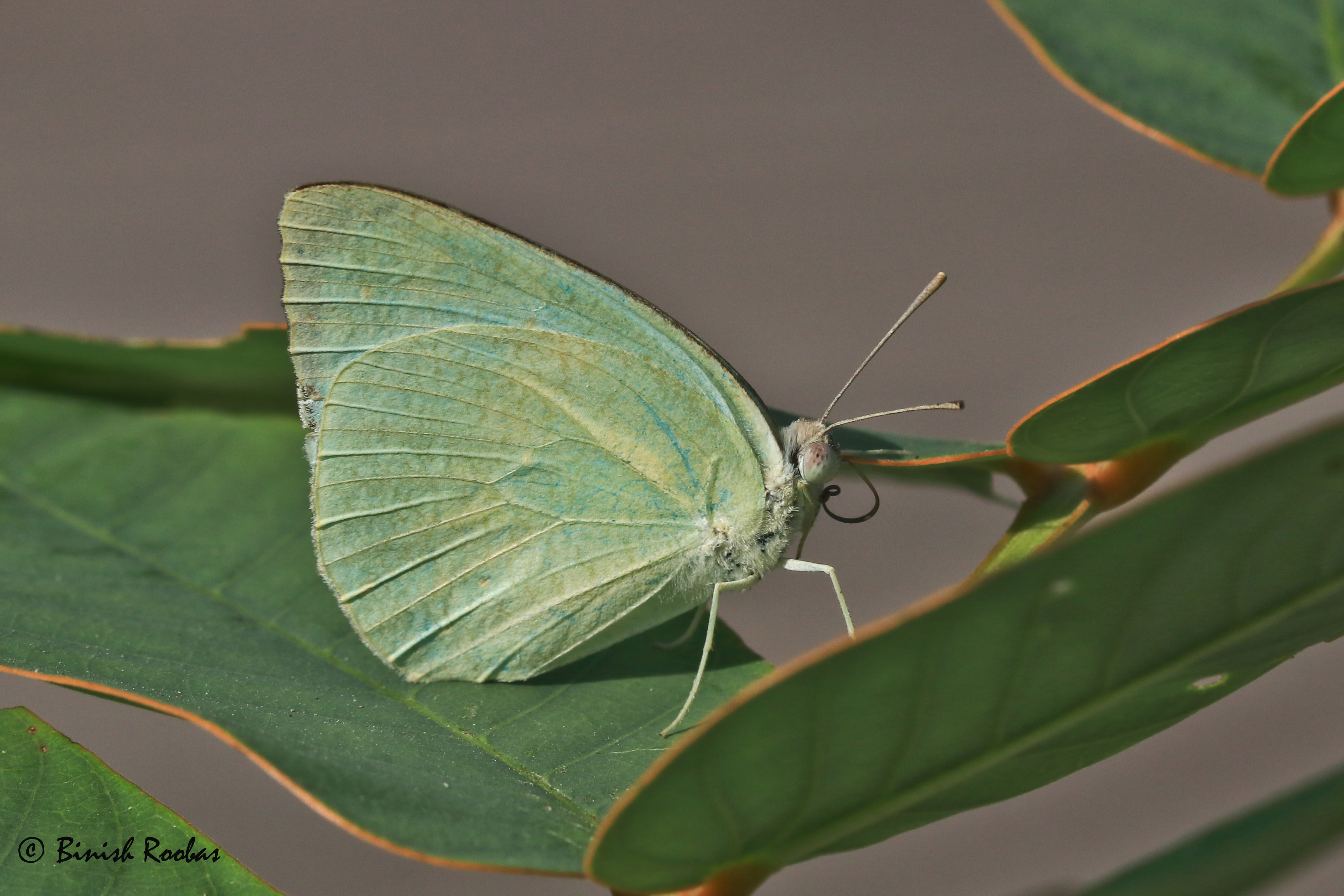 two new butterflies for the uae. pic by binish roobas