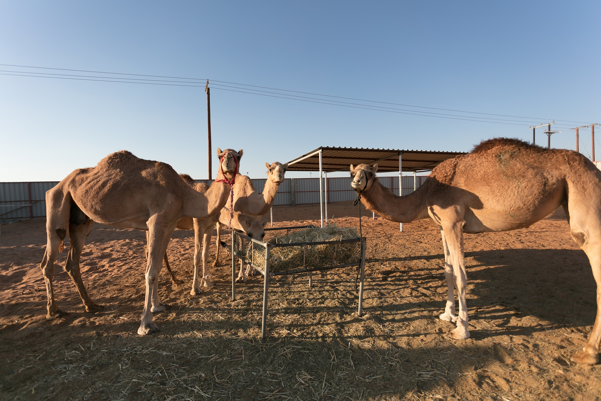tour exploring ancient traditions of camel convoys returns to al ain2