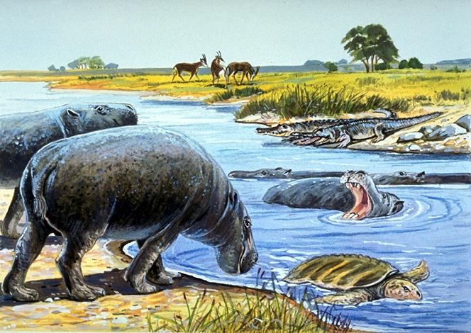 الكشف عن نوع جديد من أفراس النهر كان يعيش بمنطقة الظفرة. 1