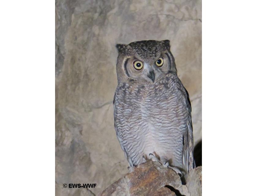 arabian spotted eagle owl ews-wwf