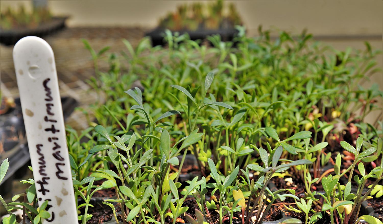 نجاح زراعة خضروات ملحية غنية بمحتواها الغذائي والطبي ضمن ظروف الامارات. 1