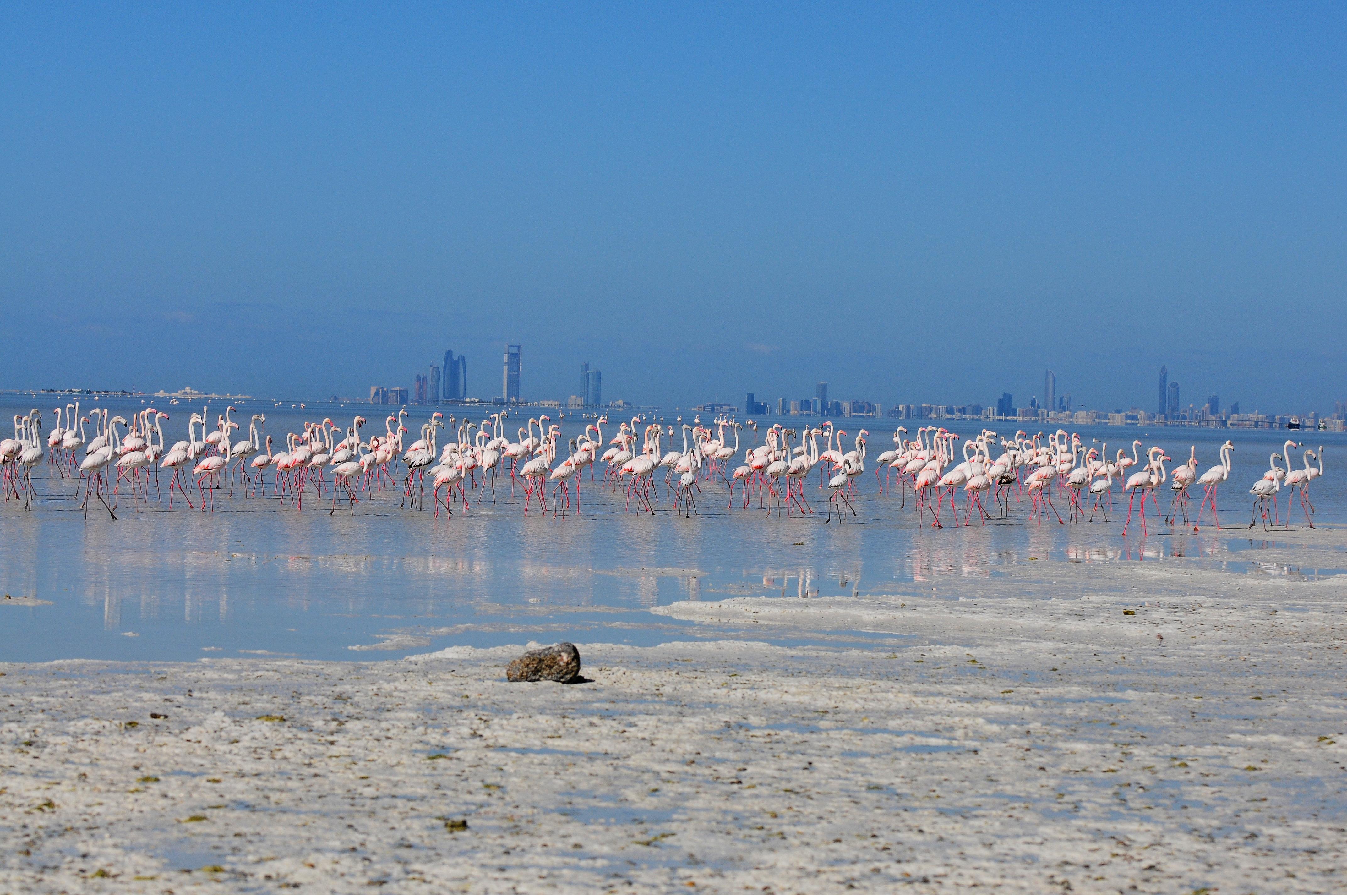 Greater Flamingos in Bul Syayeef one of Ramsar sites
