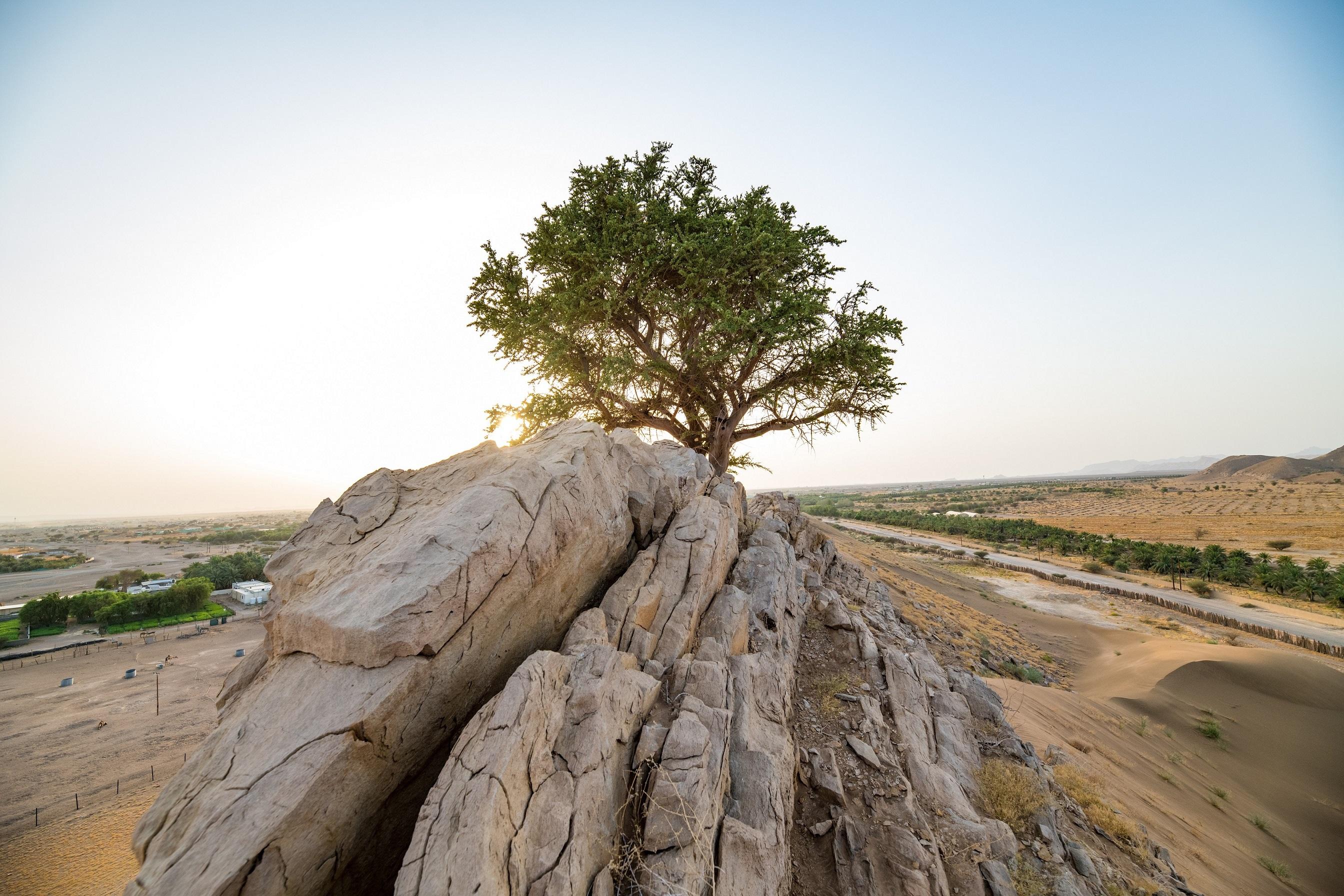 al-sarh tree in malakat
