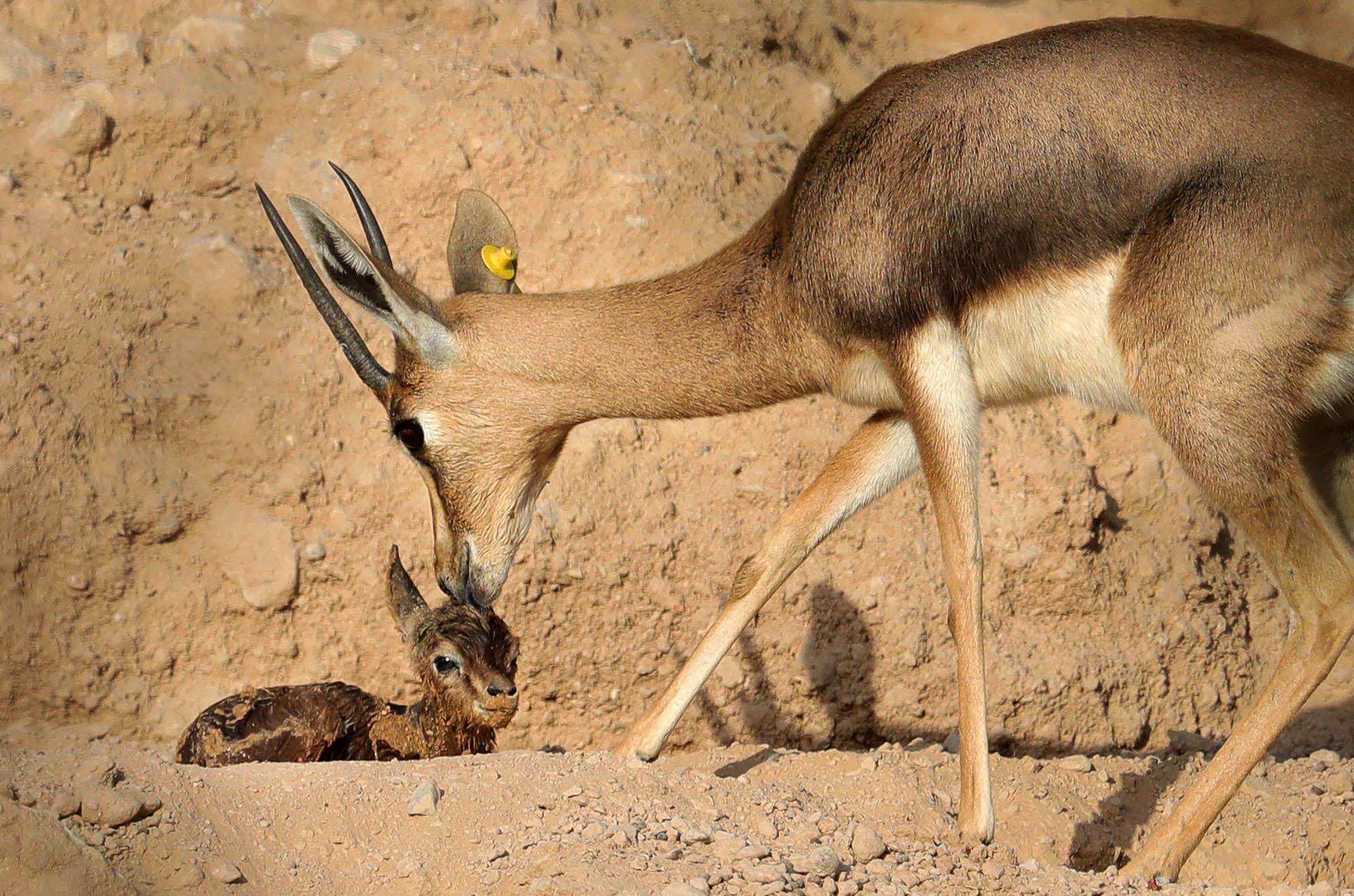 حديقة الحيوانات بالعين تستقبل 411 مولودا منذ مطلع 2020