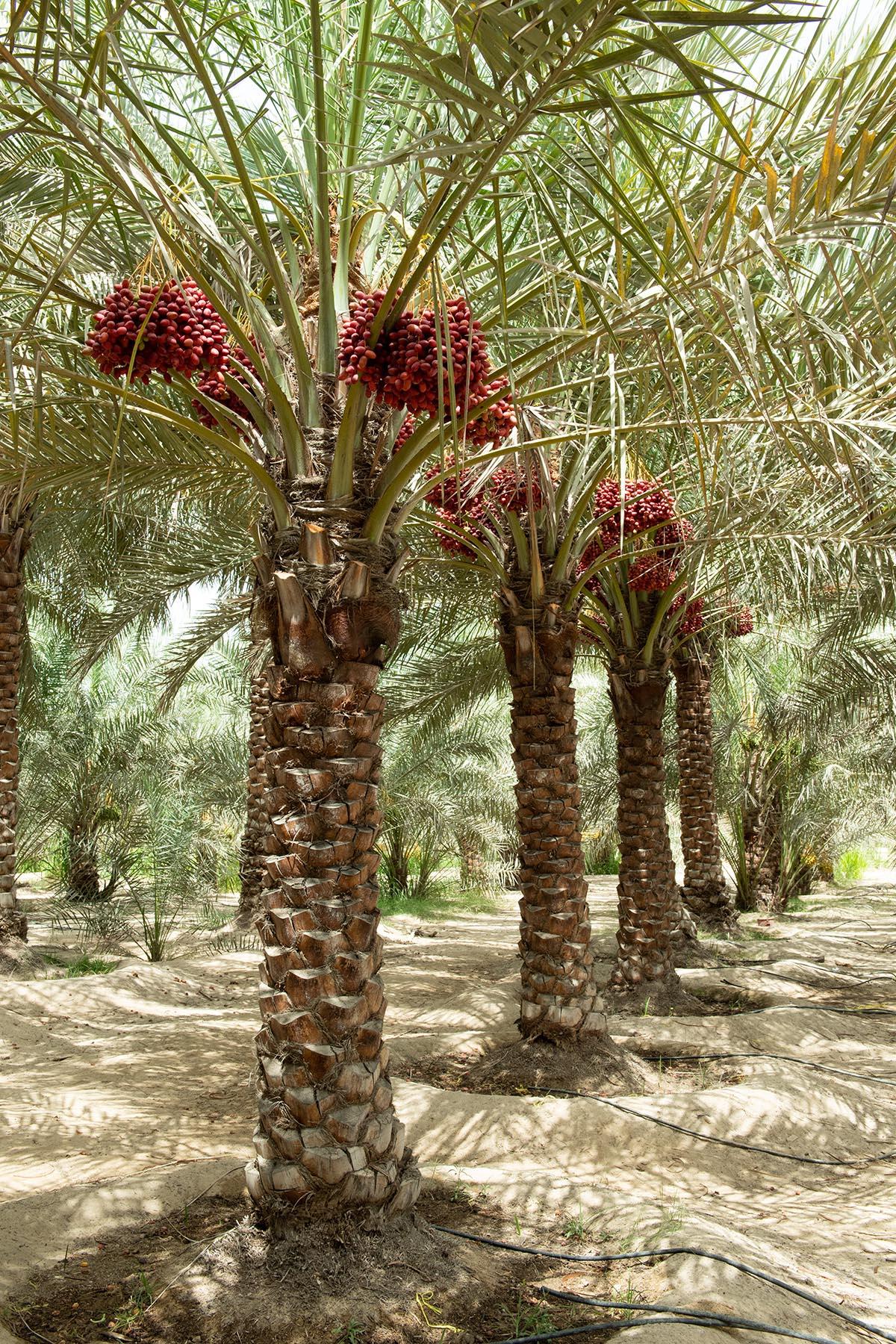 """""""أبوظبي للزراعة"""" .. خدمات متكاملة لتطوير مزارع النخيل وتحسين جودة الإنتاج"""