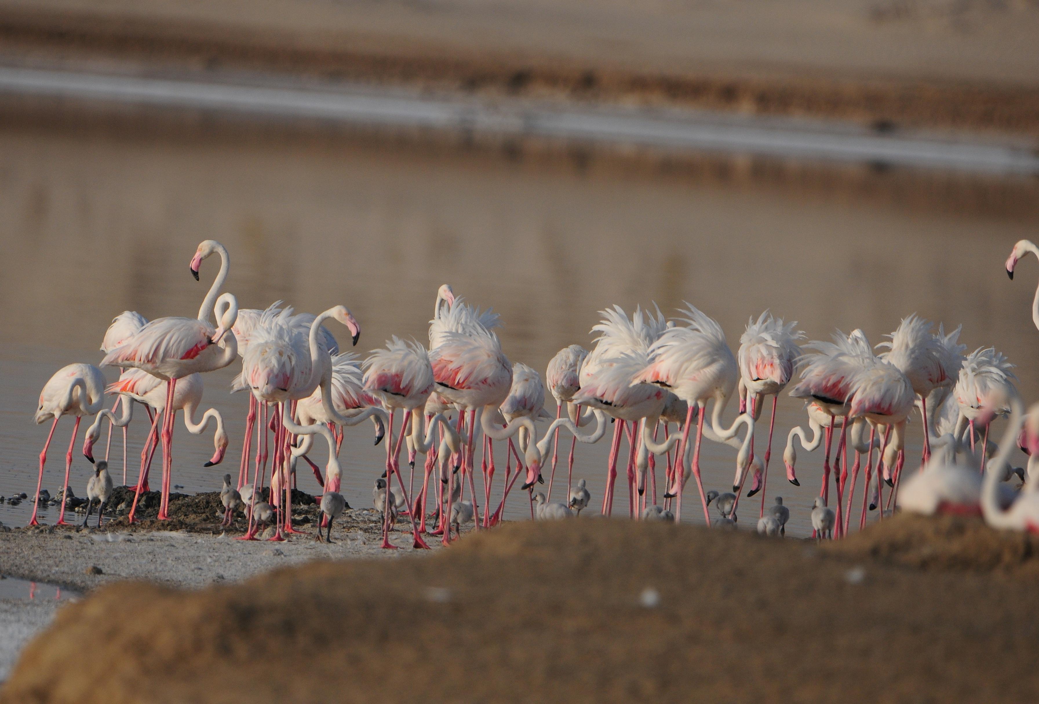 greater flamingo_salim javed saj_9725-sm
