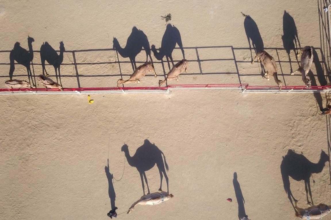 مهرجان الظفرة يخصص أشواطا لإبل الوضح والمهجنات الأصايل